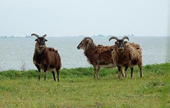 schapen op vuurtoreneiland amsterdam